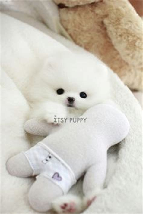 teacup pomeranians for sale in california teacup pomeranian on pomeranians teacup puppies and chihuahua puppies