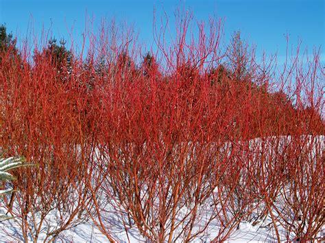 fast growing flowering shrubs top 12 fast growing shrubs flowering and non flowering