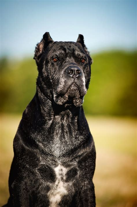 breeds and info corso breed facts and information breeds picture