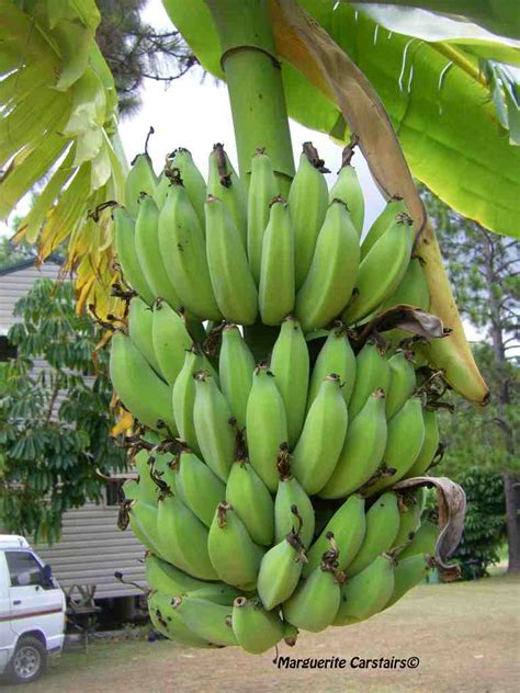 bananas on tree bananas and the banana trees every picture tells a tale