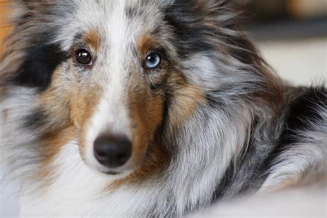 blue merle sheltie puppies blue merle shetland sheepdog dogs wonderful dogs