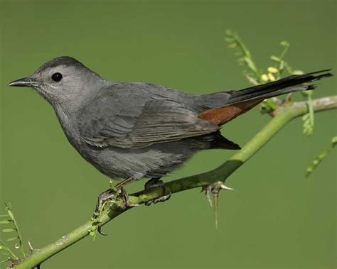 gray catbird audubon field guide
