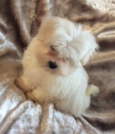 maltese puppies for sale in maltese puppies for sale virginia ads dogs puppies