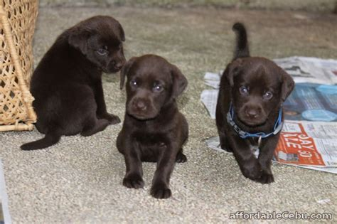 chocolate lab puppies for sale in ma chocolate labrador retriever for sale philippines photo