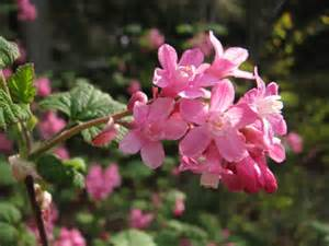 shrub with pink flowers flowering shrubs rainyleaf