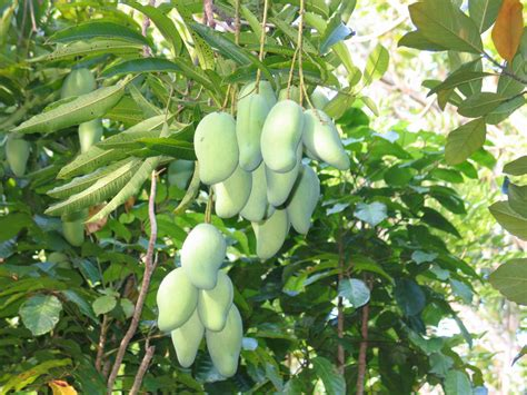 mango tree with fruits mango tree plant product reviews and price comparison