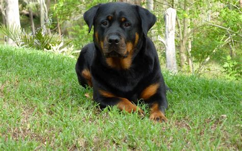 images of rottweilers rottweiler lovely 1920x1200 wallpapers rottweiler 1920x1200 wallpapers pictures free