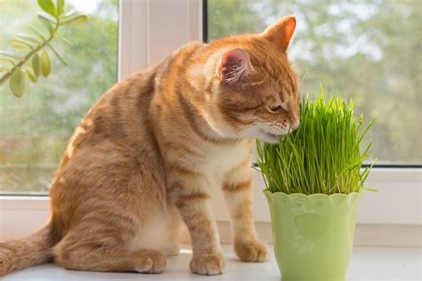 is catnip safe for dogs is catnip really safe for your cat to use fetch pet care
