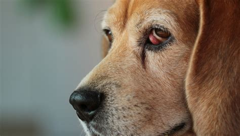cherry eye in puppies cherry eye in dogs what it means and how to deal with it