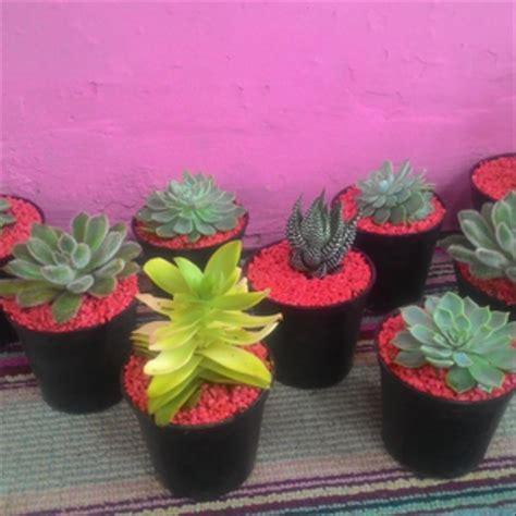jual tanaman hias kaktus  bibit tanaman  lapak agus