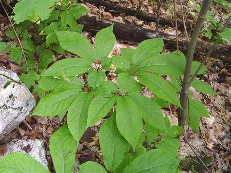 American Ginseng panax quinquefolius american ginseng go botany