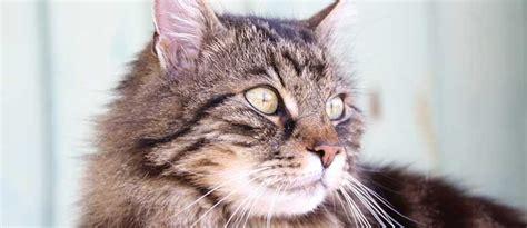 ab wann werden katzen rollig katzenjahre wie alt werden katzen tierisch wohnen