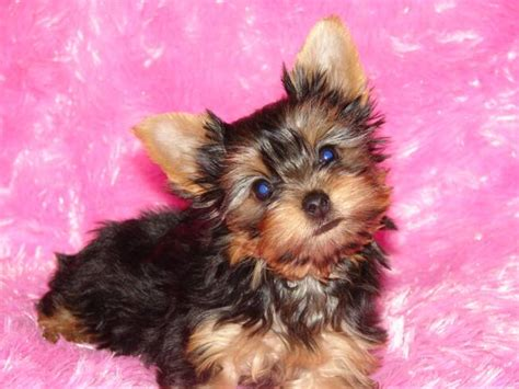 yorkie pups for free teacup yorkie puppies for sale 30 desktop wallpaper dogbreedswallpapers