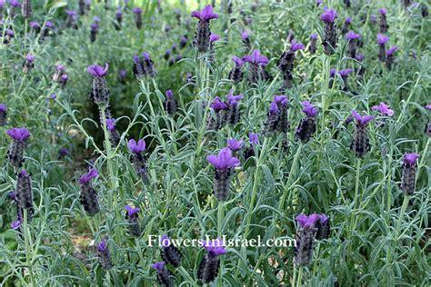 Lavender 15ml lavender 15ml לבנדר lavendula augustifolia israel aytz chayim