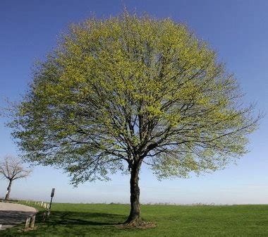 problems with maple trees dead branches appear on robust sugar maple ask the ground crew cleveland