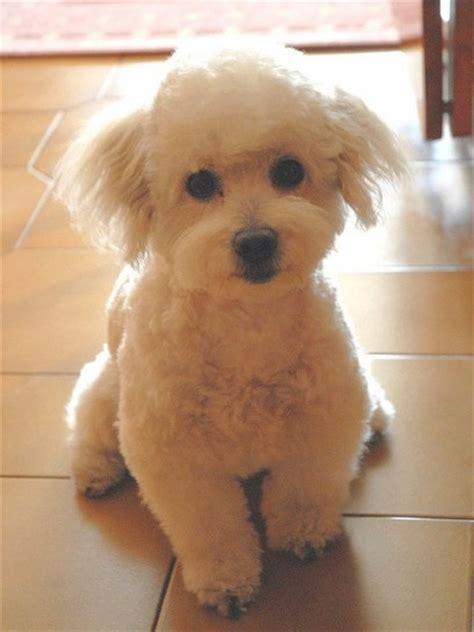 cani piccola taglia pelo corto da appartamento cani di taglia piccola foto 26 40 nanopress