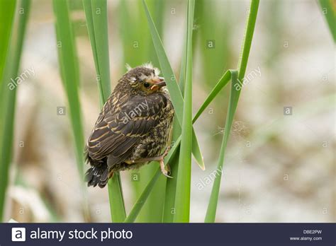 baby red winged blackbird agelaius phoeniceus in spring