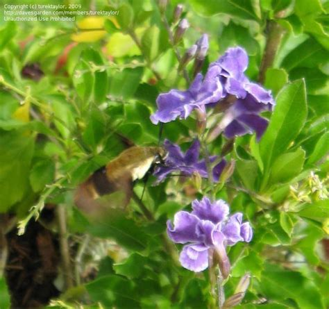 plantfiles pictures brazilian sky flower duranta stenostachya by turektaylor