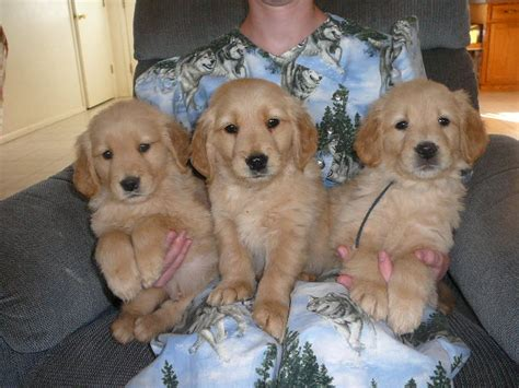 golden retriever az puppies for sale golden retriever including american etc golden