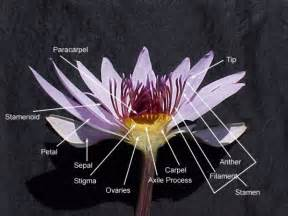 Structure Of Lotus Flower Nymphaea Water Lilies Page 2 Plant Fora Plant