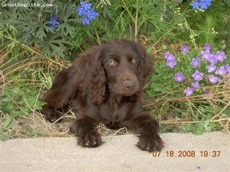 boykin spaniel puppies for sale near me boykin spaniel puppies for sale picture and images