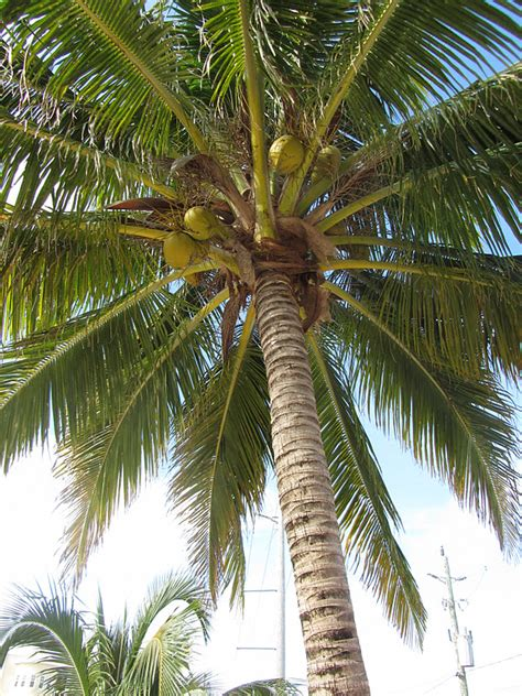 Coconut Tree coconut trees who knew san pedro scoop