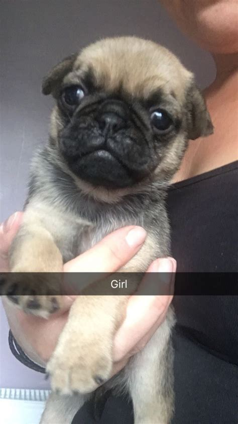 pug norwich gorgeous pug puppies norwich norfolk pets4homes