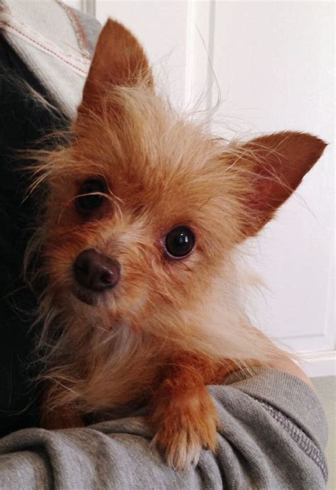 do yorkie chihuahua mix shed chihuahua and yorkie mix pictures breeds picture