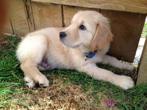 Polo Home Decor by Purebred Golden Retriever Puppy In Coronado Coronado Times