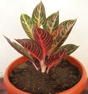 tanaman hias favorit masyarakat indonesia arjips blog