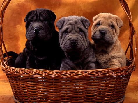 sharpie puppy free shar pei search engine at search