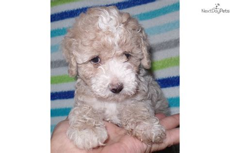 miniature poodle rescue indiana baby jackson poodle puppy for sale near indianapolis