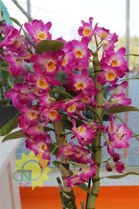 orchidea coltivazione in vaso coltivazione orchidee in vaso 28 images come prendersi