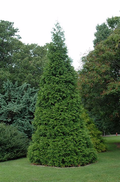 green giant arborvitae thuja green giant  greensboro