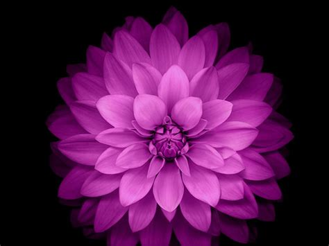 iphone   wallpaper official purple lotus flower