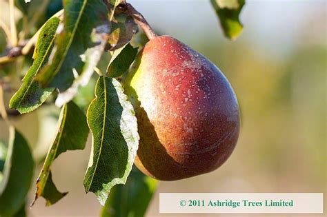 fruit trees for sale in nj louise bonne of jersey pear trees for sale mail order