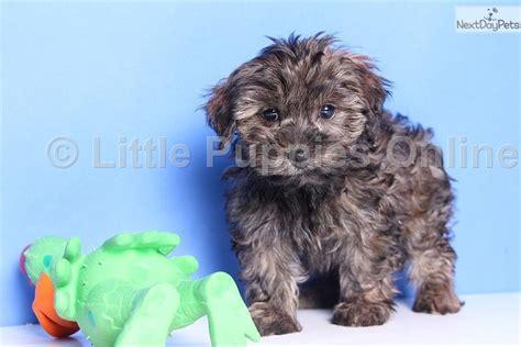 yorkie poo puppies adoption brindle yorkie poo breeds picture
