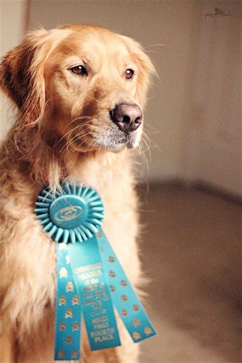 golden retriever air bud 17 best images about disney buddies on disney puppys and golden retriever