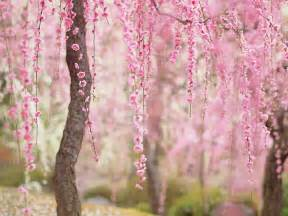 Cherry Blossom Images 20 of the best pictures of this year s japanese cherry