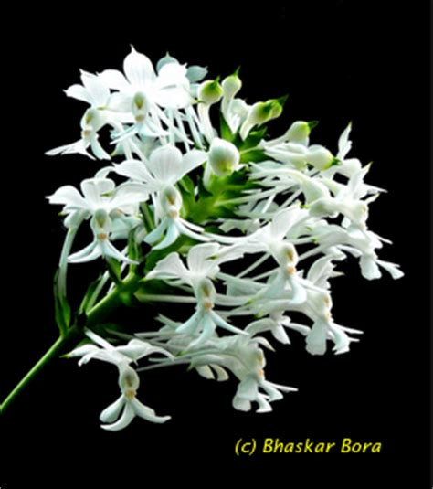 china orchid hill beautiful nature orchids of lakhimpur district and it s