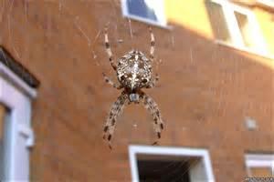 Garden Spider Uk Poisonous Garden Spider Bite Uk
