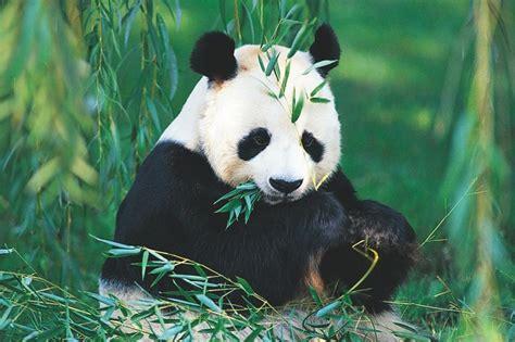 New England Style Homes Interiors osos panda caracter sticas de los osos panda fotos de