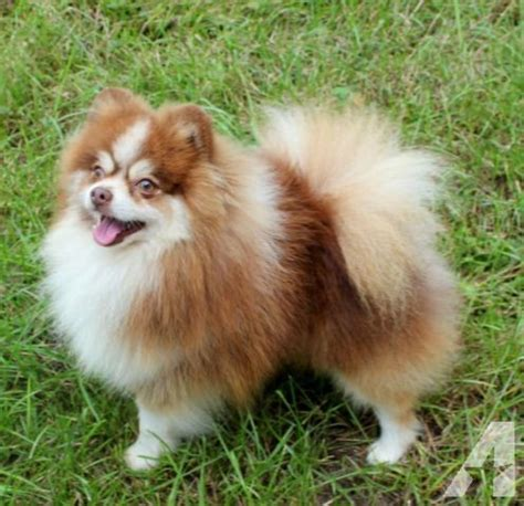 parti pomeranian puppies akc chocolate tri parti pomeranian puppy ready july 1st for sale in roy