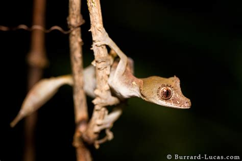 satanic leaf tailed gecko burrard lucas photography