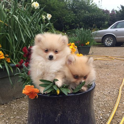 mini pomeranian puppies for sale in beautiful tiny micro pomeranian puppies for sale pomeranian miniature for sale