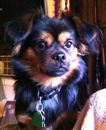 pekingese yorkie mix puppies for sale yorkie pekingese dogs breeds picture