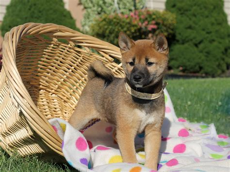 shiba inu puppies for sale in pa shiba inu puppies for sale in pa