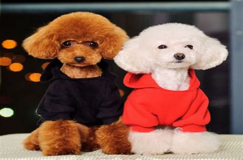 different styles of hair cuts for poodles pictures of different types of poodle hair cuts 17 best