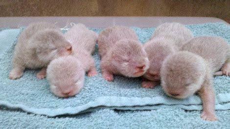 baby otters  pups   years  santa barbara