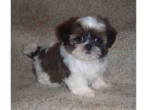micro shih tzu tiny teacup shih tzu puppies breeds picture